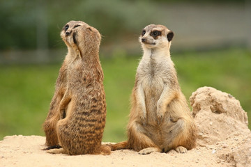 A fifth wheel in the  meerkats community