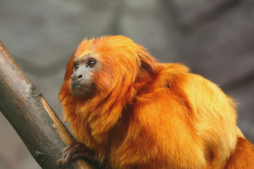Golden Lion Tamarin monkey - side view
