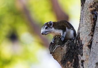 Finlayson's squirrel (Variable squirrel , Callosciurus finlayso