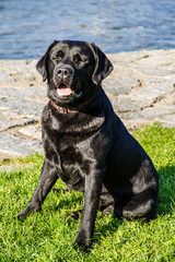 Labrador Dog Sitting on Grass with River Behind