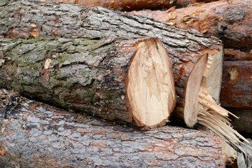 Freshly cut tree pine logs outdoors close up