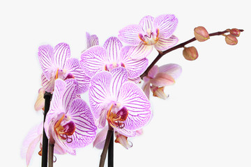 Phalaenopsis orchid branch isolated on white