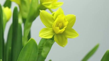 Single Daffodil Time Lapse