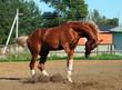 Arabian horse bucking in summer farm