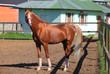 Red arabian horse with red halter