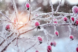 Fototapety Red rosehip berries with hoar frost