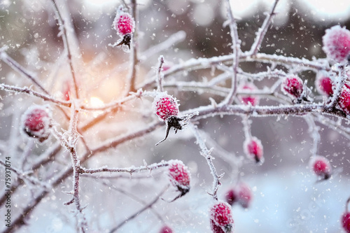 Red rosehip berries with hoar frost - 75937874