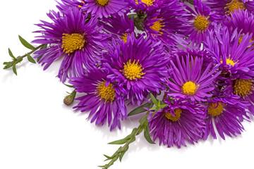 Purple chrysanthemums on white