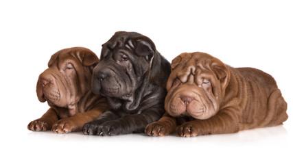 three shar pei puppies lying down