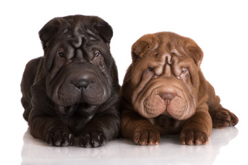 two shar pei puppies lying down