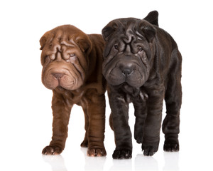 two shar pei puppies on white