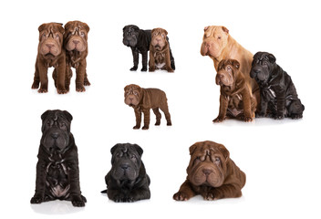 set of different shar pei puppies