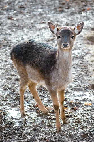 Fotobehang Ree roe deer in nature