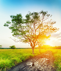 A tree at sunset time. Summer landscape