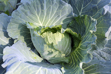 freshness cabbage vegetables.