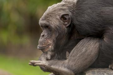 Chimpansee in gedachte
