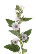 Leinwandbild Motiv Eibisch; Althaea; Officinalis; Althaea;