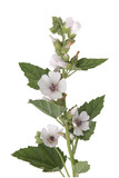Eibisch; Althaea; Officinalis; Althaea;