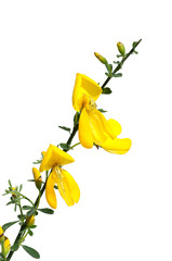 Ginster; Cytisus; scoparius; Ginsterbluete,