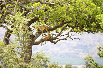 Pride of lions rests in tree