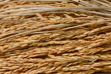 paddy grains