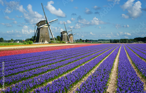 Flowers and windmills in Holland Poster