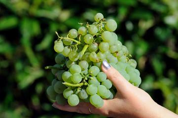 Grape in hand