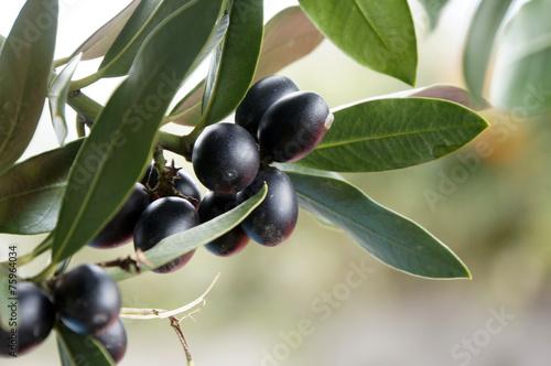 Deurstickers Olijfboom schwarze, reife Oliven