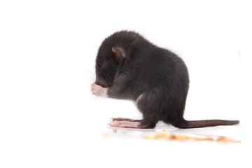 Baby brown gray rat eating