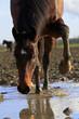 Pferd spielt an Pfütze - 75965682