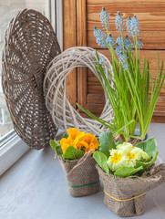 Hyacinths and primula on the window