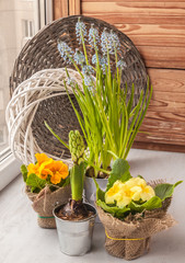 Hyacinths and primroses on the window