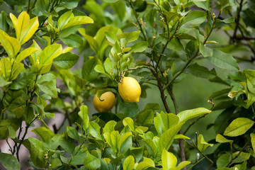 lemon tree.  Bunch of ripe lemons