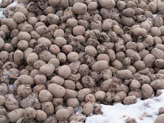 dirty frozen rotting potatoes