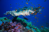 Table coral (Acropora Pharaonis) in Red sea poster