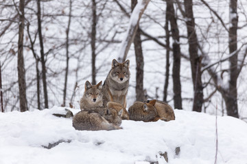 Pack of coyotes in a winter landscape
