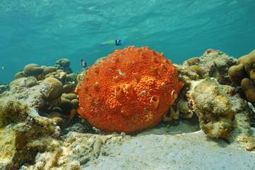 Red encrusting sponge Cliona delitrix