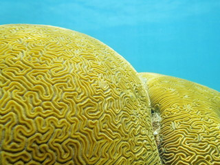 Close up of Grooved brain coral labyrinth