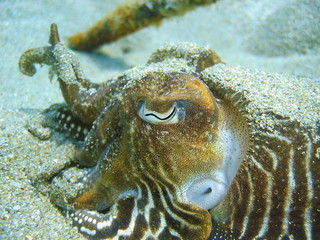 Close-up Common Cuttlefish head and eye underwater
