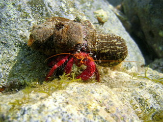Hermit Crab underwater with sea anemone on shell