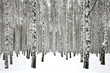 Winter birch forest - 75979616