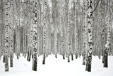 Winter birch forest © Elena Kovaleva