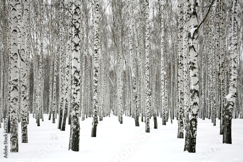 Poster Bossen Winter birch forest