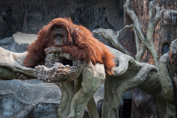 Orangutan lying on the stone
