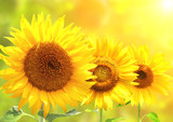 Fototapety Bright yellow sunflowers