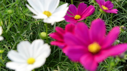purple and white chrysanthemum come into focus