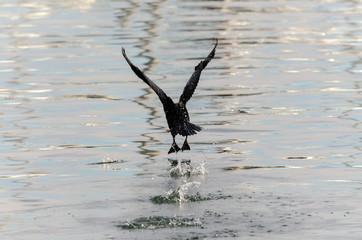 cormorano sul mare della Liguria