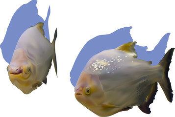 two piranha fishes isolated on white background