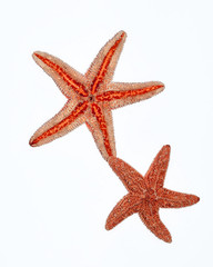 closeup of two starfishes on white background