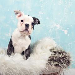 Bulldoggen Baby sitzt auf Fell